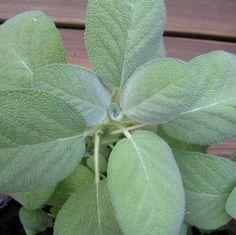 Voici27 plantes qui possèdent d'importantes propriétés médicinales et que vous pouvez faire pousser chez vous : 1 – Aloe Vera L'aloe vera ne pousse que sous le soleil avec de la terre sèche ou humide bien drainée. Bien que la plante ait un goût fade, elle est comestible. La sève de l'aloe vera est extrêmement …