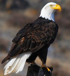 The Eagles, Wings Like Eagles, Eagle Artwork, Aigle Animal, Bold Eagle, Eagle Hunting, Eagle Pictures, Barn Quilt Patterns, Eagle Tattoos