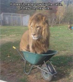 Last week, Obi was found in an unusual spot: a wheelbarrow. This Lion Got Into A Wheelbarrow At A Zoo And It Was Pretty Whimsical Funny Animal Memes, Cute Funny Animals, Funny Animal Pictures, Cute Baby Animals, Cat Memes, Funny Cute, Cute Cats, Funny Memes, Random Pictures