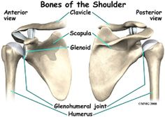 Bones of the Shoulder Hand Bone Anatomy, Anatomy Bones, Human Skeleton Parts, Shoulder Anatomy, Radiology Student, Skeleton Anatomy, Human Body Systems, Skeletal System, Medical Anatomy