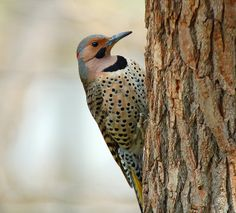 Northern Flicker - male  According to the Provincial Government there are 12 species of woodpecker that appear at least occasionally in BC, but only a few are common
