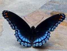 Red-Spotted Purple (Limenitis arthemis astyanax)     http://nabageorgia.weebly.com/common-butterflies--host-plants.html
