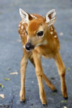 Awwww cutest baby deer ever!!!!!!!!!!!!!!