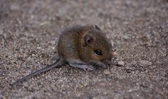Baby wood mouse near Praa sands, Cornwall. Photo taken by Claire Hawken