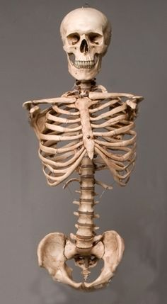 Skeleton Torso With Skull, Life-Size, Class, Aged Version Human Skeleton Anatomy, Human Anatomy, Male Skeleton, Skeleton Photo, Skeleton Model, Skeleton Makeup, Skull Makeup, Skull Reference, Anatomy Reference
