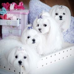 ❤️️Maltese Dogs...I want one!!!!!