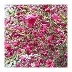 Matura Cytisus 'Boskoop Ruby' - GardenExpert.ro Nikko, Garden Shop, Hibiscus, Planting Flowers, Google, Shopping, Green