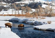 Lamar Valley of Yellowstone