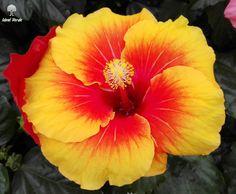 #flower #vivaidealverde #ibiscus