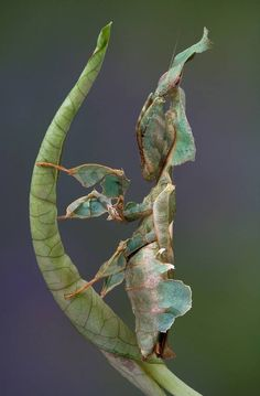 Strange patterns and odd shapes make these mantises stand out — even as they blend in.