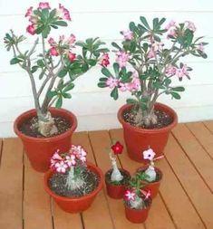 sementes de rosa do deserto (500 sementes mix de cores)