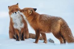 A www, fox love