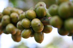 Grüner Kaffee – Wunderwaffe oder Getränk mit Placebo-Effekt? Ernährungswissenschaftler zeigen Ursachen und Wirkung. - Foto: pixabay.com/chrizzel_lu