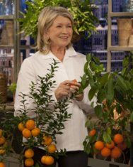Growing Citrus Indoors:  Your orange, lemon, or lime tree can grow in a container, thriving indoors during cold-weather months before basking outside in spring & summer.  The best pick for homegrown citrus is a dwarf variety. Many citrus trees can be grown as dwarves, including Meyer lemon, kaffir lime, & 'Trovita' & calamondin oranges, which are amenable to indoor cultivation.