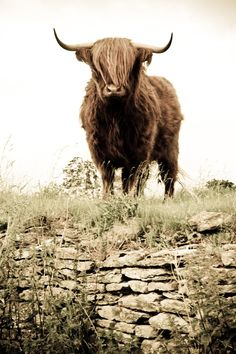 Highland Cattle 2 - Fine Art Photography - Wall Décor - Nature Photography - 7x5 Print