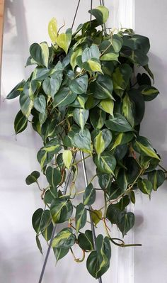 Houseplants for Better Sleep Philodendron Hederaceum 'Brazil' Hanging Plants, Indoor Plants, Air Plants, Hanging Gardens, Foliage Plants, Indoor Gardening, Cactus Plants, Pothos Plant, Decoration Plante
