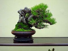 Galery Bonsai Klasik I Pine Bonsai, Indoor Bonsai Tree, Indoor Trees, Bonsai Art, Bonsai Garden, Dwarf Trees, Bonsai Styles, Miniature Trees, Unique Trees