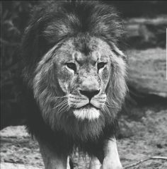 Proud and beautiful #lion