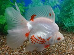 6.75 inches show quality ryukin goldfish