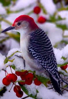 Red-bellied woodpecker • photo: Ron Jones