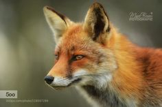 Red Fox by Marcel Bressers