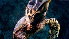 turtle wallpaper animals