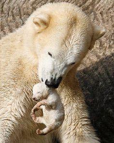 osos polares, polar bear mom and cub Nature Animals, Animals And Pets, Wild Animals, Beautiful Creatures, Animals Beautiful, Animals Amazing, Cute Baby Animals, Funny Animals, Newborn Animals