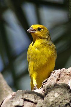 Sicalis flaveola - Jilguero - Freebirds