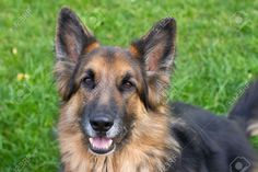 Long Haired German Shepherd Lying Down In A Garden Stock Photo ...