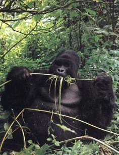 photograph of a hungry gorilla