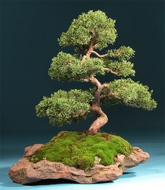 Most people think the bonsai tree originated in Japan. Where the bonsai tree actually originated just may shock you!