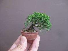 Juniper mame bonsai by Haruyosi of Japan.  Mame are supposed to be 4 inches tall or less (some say 6 inches or less) when measured from the top of the pot.  Mame literally means 'bean' in Japanese.