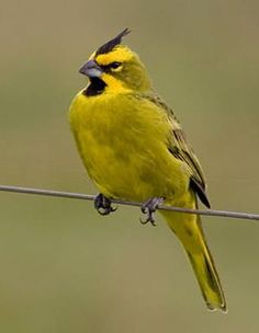 The Yellow Cardinal (Gubernatrix cristata) is a species of bird in the Thraupidae family. Sometimes classified in the bunting and American sparrow family Emberizidae, more recent studies have shown it to belong with the tanagers. It is the only member of its genus, Gubernatrix.[2] It is found in Argentina, Brazil, Paraguay, and Uruguay.