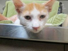This CAT - ID#A1587558  I am an unaltered male, white and orange Domestic Shorthair.  The shelter thinks I am about 3 months old. I weigh approximately 3 pounds.  I have been at the shelter since Oct 01, 2015.