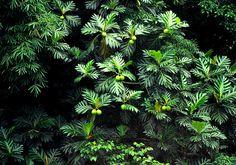 Plantas de Venezuela: Arbol de Pan by Jose Jaime Araujo, via Flickr