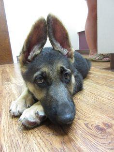 Willow is a 12 week old German Shepherd