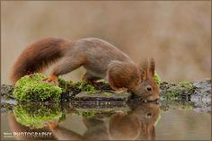 Thirsty Red squirrel