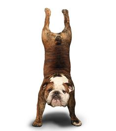 Dog Pose Yoga Posture Cute Animals Doing Postures Namaste Yogi Yogis OMG WTF Yogalicious Weir Bizarre Sport Flexible Balance