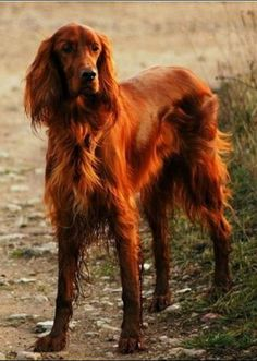 Irish setter, long, lean and red