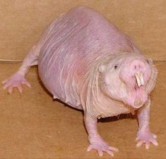 """Naked Mole Rat - He's Way Beyond the """"So Ugly He's Cute"""" Thing !"""