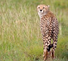 Euro for Namibian cheetah conservation - Africa Geographic Wildlife Photography, Conservation, Cheetah, Giraffe, Euro, Africa, Cats, Animals, Beautiful