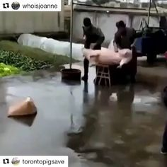 #Repost @whoisjoanne (@get_repost)  WHAT WOULD YOU DO IF SOMEONE WAS ABOUT TO KILL YOUR FRIEND? Animals understand. They feel fear and pain like we do. If you consume animals or their fluids you are paying someone to impregnate mutilate torture and kill them. Please treat animals how you would like to be treated if it was you in their place. Go vegan today @veganeasy #animalliberation #dxe #vegan #crueltyfree #noanimalsharmed #plantbased #govegan #foodporn #foodshare #lowcarb #atkins…