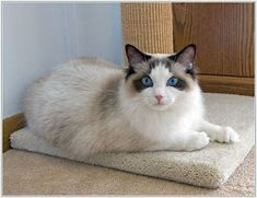 Looking for Ragdoll cat names? We have created a list of perfect names for Ragdoll cats. Baby Kittens, Kittens Cutest, Cats And Kittens, American Curl, I Love Cats, Crazy Cats, Cool Cats, Selkirk Rex, Somali