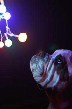 Bulldog sad that the Christmas lights are coming down