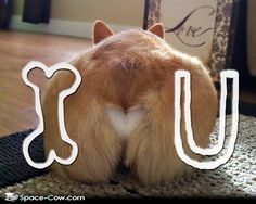 funny corgi pictures | funny pictures animals pics