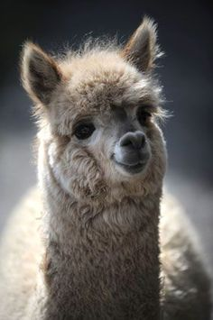 baby alpacas | Baby Alpaca Alpacas, Cute Alpaca, Baby Alpaca, Llama Alpaca, Llama Pictures, Animal Pictures, Cute Little Animals, Cute Funny Animals, Lama Animal