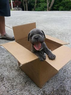 "aplacetolovedogs: "" Adorable Italian Mastiff pup (Cane Corso) Brutus Maximus 6 weeks old, happy in his box! Would you look at that happy face For more cute dogs and puppies "" Puppies And Kitties, Cute Puppies, Cute Dogs, Doggies, Happy Puppy, Happy Dogs, Baby Animals, Cute Animals, Raining Cats And Dogs"