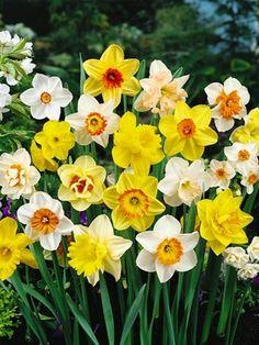 Daffodil Naturalizing Mix--spring