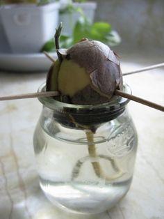 Um caroço de abacate crescerá e será um pé de abacate.