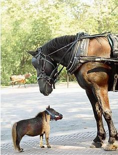 World's Smallest Horse - Thumbelina, the world's smallest dwarf miniature horse! She's only about a foot-and-a-half tall and weighs 57 pounds!